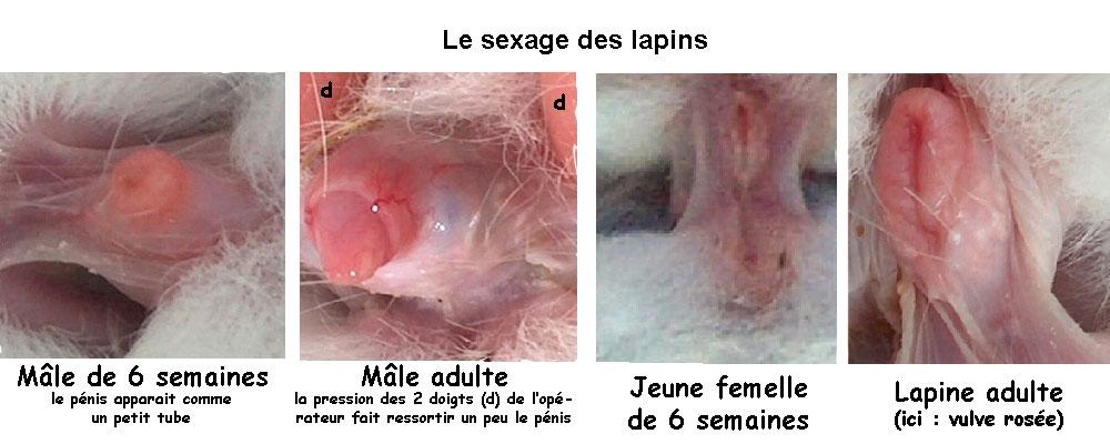 هنا  لجميع محبى منتدى الارانب للجميع وحصريا تلاحظ الفرق بينى الانثى و الذكر الكبيروالصغير فى الارانب - صفحة 2 Figure-13