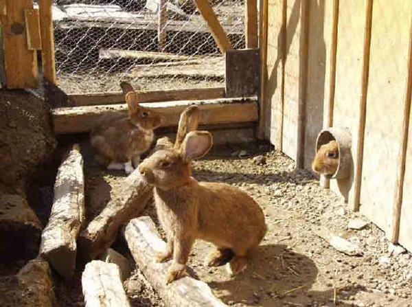 Выращивание кроликов в загонах 59