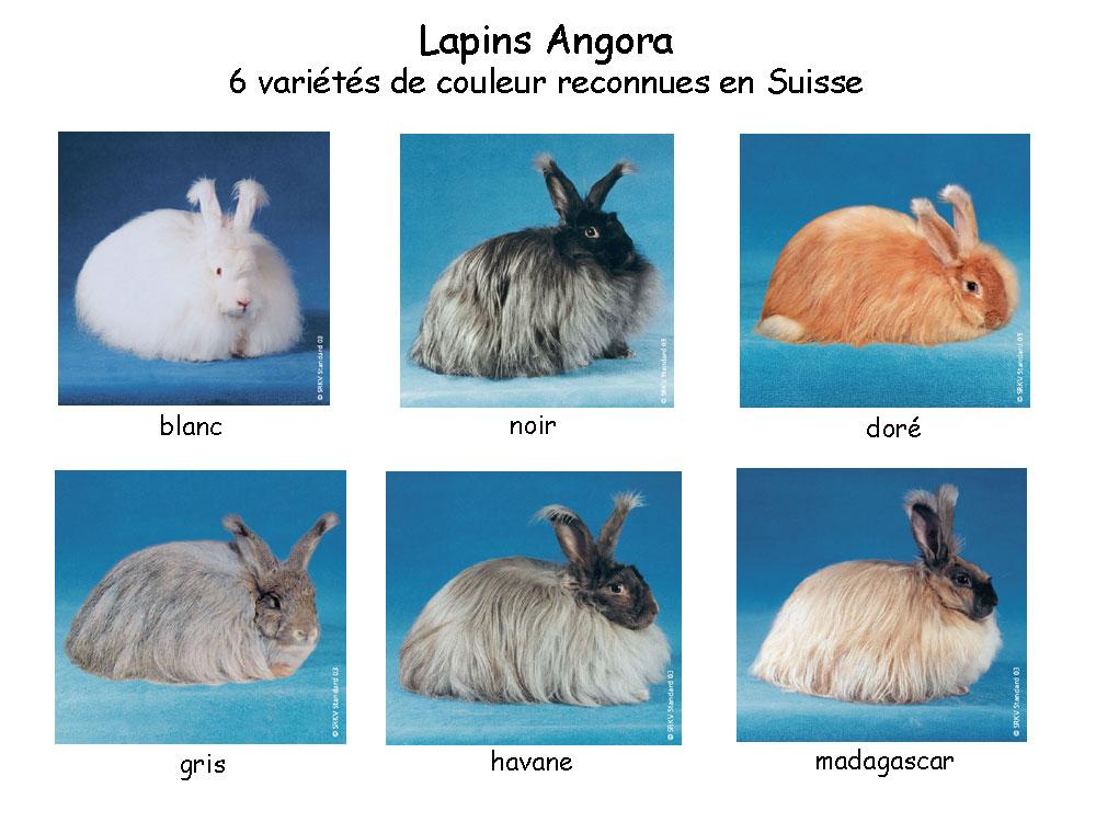 http://www.cuniculture.info/Docs/Phototheque/PhotosLapins/races-en-suisse/5-a-poil_%B1_long/Angora-6-couleurs.jpg
